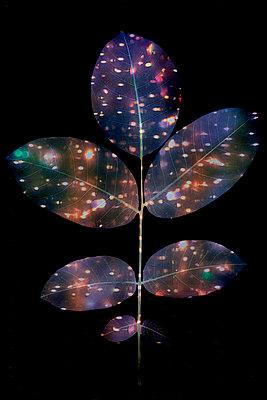 Leaves of walnut tree - p1028m2290889 by Jean Marmeisse