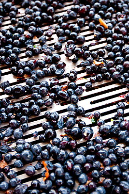 Ripened Brunello grapes, Sangiovese, being harvested at the wine estate of La Fornace at Montalcino in Val D'Orcia, Tuscany, Italy - p871m895819 by Tim Graham
