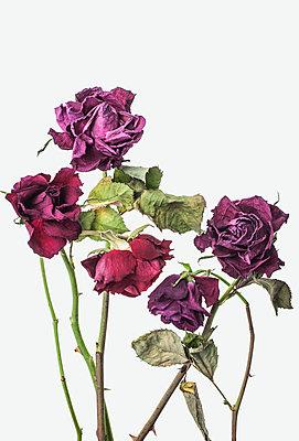 Wilted roses - p971m2087111 by Reilika Landen