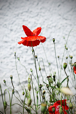 Red poppy - p1149m1146866 by Yvonne Röder