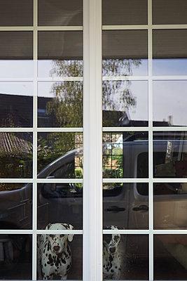 Dalmatians behind a window - p1610m2215912 by myriam tirler