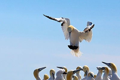 gannet descending in the flock; perce', quebec, canada - p44212610f by Richard Wear