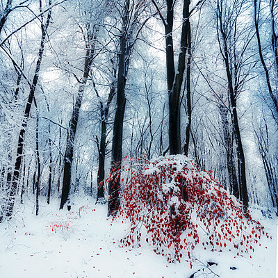 Snow covered trees in a forest with little red leaved tree in the foreground - p300m961913 by Dirk Wüstenhagen