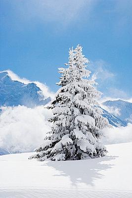 Fir tree covered in fresh snow - p4292883f by Adie Bush
