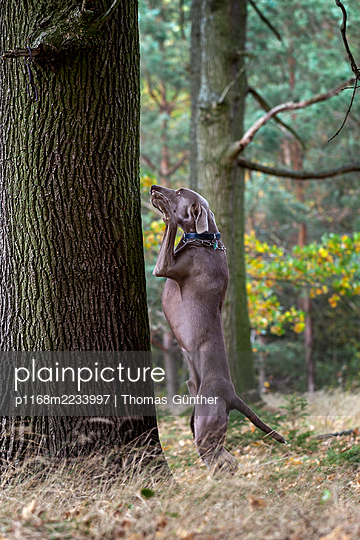 Dog standing upright in front of a tree - p1168m2233997 by Thomas Günther