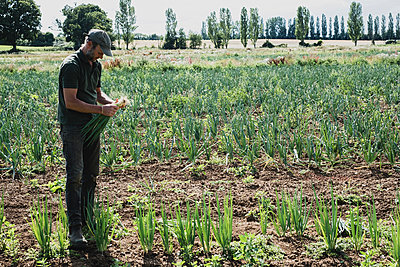 Farmer standing in a field harvesting spring onions. - p1100m2271485 by Mint Images