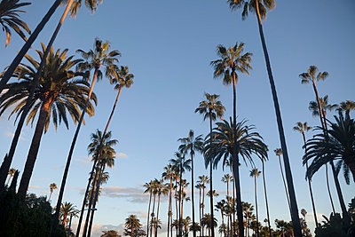 Palm trees at sunset - p495m903928 by Jeanene Scott