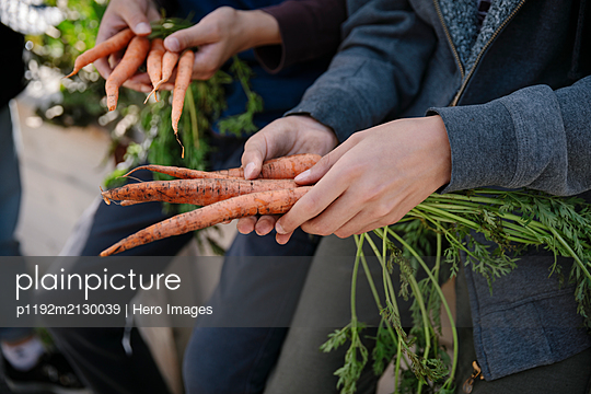 Close up boys harvesting fresh carrots - p1192m2130039 by Hero Images