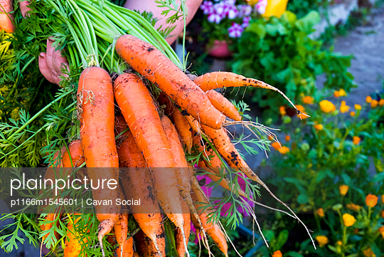Cropped hand of woman holding carrots at farm - p1166m1545601 by Cavan Social