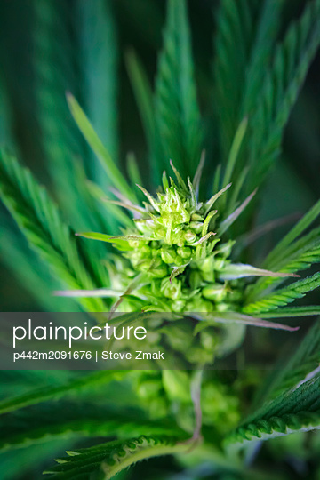 Close-up of a young male cannabis plant, flower and seeds; Marina, California, United States of America - p442m2091676 by Steve Zmak