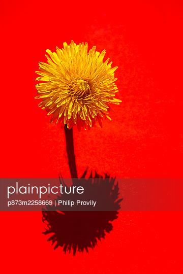 Dandelion - p873m2258669 by Philip Provily