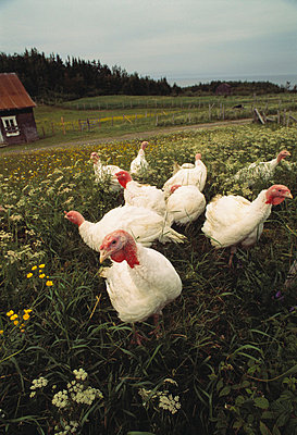 Poultry - p2002331 by Robert Baronet