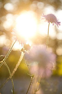 Witwenblumen im Gegenlicht - p533m1474769 von Böhm Monika