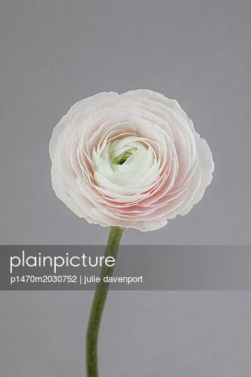 Pale Ranunculus on grey - p1470m2030752 by julie davenport