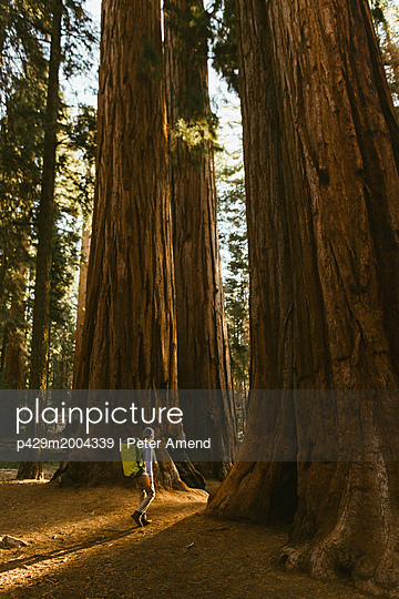 Hiker hiking among sequoia trees, Sequoia National Park, California, USA - p429m2004339 by Peter Amend