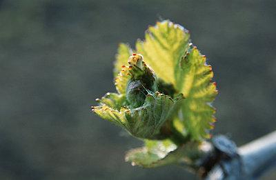 Vine - p2689149 by Edith Lauenstein
