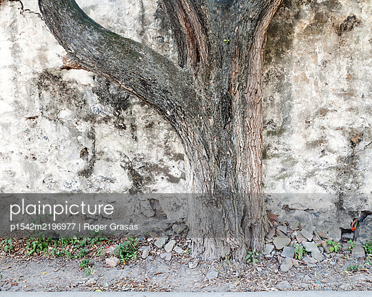 Mexico, Tree trunk - p1542m2196977 by Roger Grasas