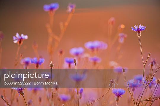 Kornblumen im Sonnenuntergang - p533m1525222 von Böhm Monika