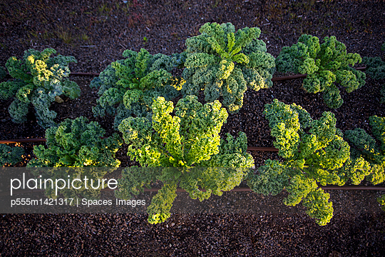 Plants growing in rows in field - p555m1421317 by Spaces Images