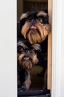 Close-up of dogs looking through window from home - p1166m2068111 by Cavan Images