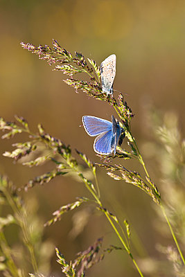 Butterflies, close-up - p312m1470762 by Sven Halling