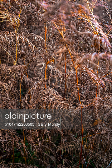 Close-up of bracken fern leaves growing outdoors - p1047m2263583 by Sally Mundy