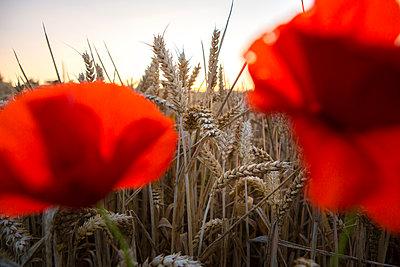 Poppy near cornfield - p1057m925377 by Stephen Shepherd