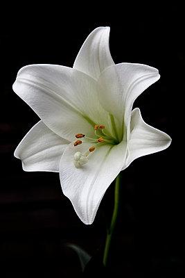 White lily - p1256m2099758 by Sandra Jordan