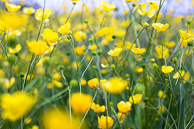 Buttercups - p1057m1041402 by Stephen Shepherd
