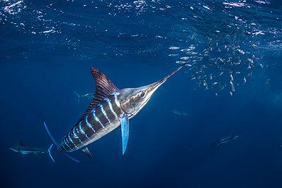 Striped marlin hunting mackerel and sardines - p429m2068328 by Rodrigo Friscione