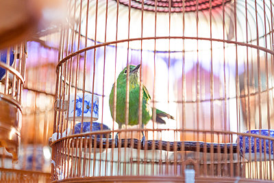 Bird in copper birdcage, Hong Kong, China, East Asia - p429m1569647 by Fang Zhou