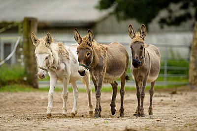Drei junge Esel - p1273m1198501 von melanka