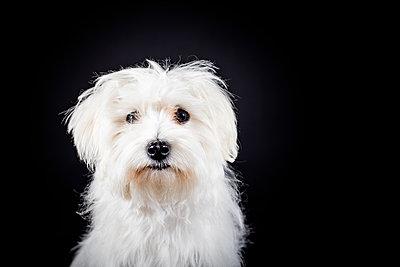Hundeportrait - p713m2122311 von Florian Kresse