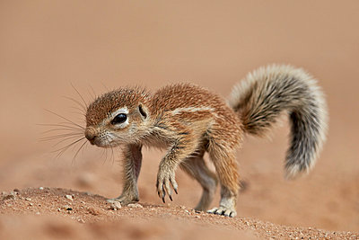 Baby Cape ground squirrel , Kgalagadi Transfrontier Park, encompassing the former Kalahari Gemsbok National Park, South Africa, Africa - p871m1056786f by James Hager