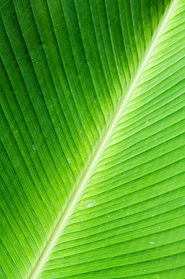 Leaf, Arenal area, Costa Rica - p871m1073829f by Robert Harding Productions