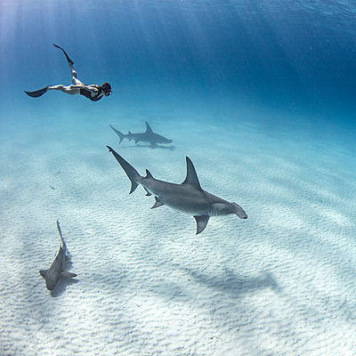 Underwater view of great hammerhead sharks and female scuba diver swimming over seabed, Alice Town, Bimini, Bahamas - p924m2077799 by Ken Kiefer 2