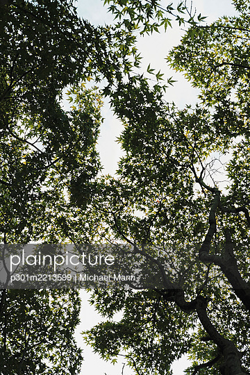 View from below tree canopy, Shinjuku Gyoen Park, Tokyo, Japan - p301m2213599 by Michael Mann