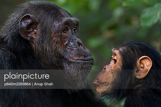 Eastern chimpanzee (Pan troglodytes schweinfurtheii) male 'Faustino' aged 25 years watched by infant male 'Google' aged 5 years . Gombe National Park, Tanzania. September 2014. - p840m2269864 by Anup Shah