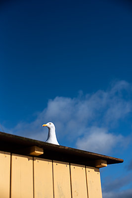 Dove with blue sky - p310m2260415 by Astrid Doerenbruch