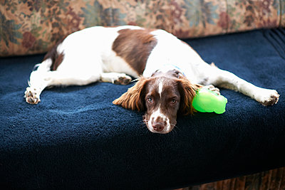 Portrait of dog, lying on sofa - p429m1226978 by Peter Muller