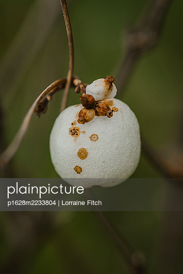 White berry - p1628m2233804 by Lorraine Fitch