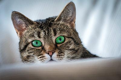 Katze mit grünen Augen - p1418m1572497 von Jan Håkan Dahlström