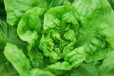 Close up of lettuce - p343m1578117 by Alexandra C. Ribeiro