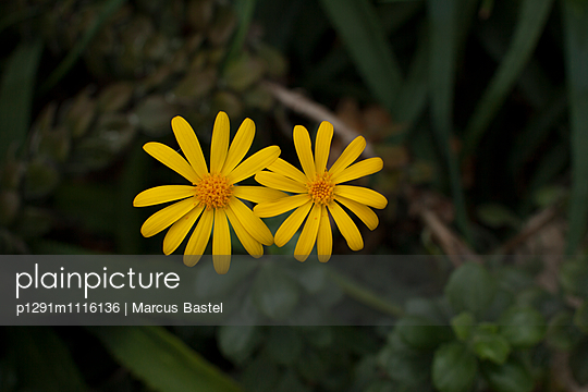 Yellow Flower - p1291m1116136 by Marcus Bastel