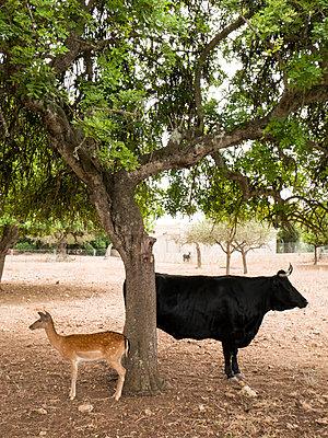 Stier und Reh - p1021m2020387 von MORA