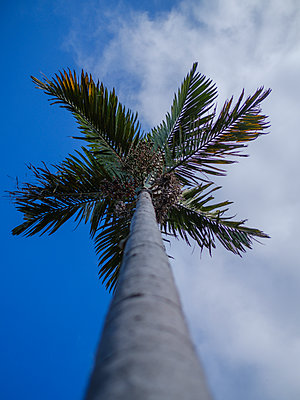 Portugal, Madeira, Palm tree - p1600m2175710 by Ole Spata