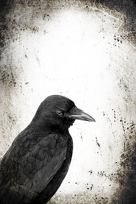 Crow - p450m1051080 by Hanka Steidle