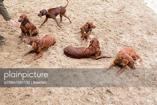 Dogs on beach - p739m1051132 by Baertels