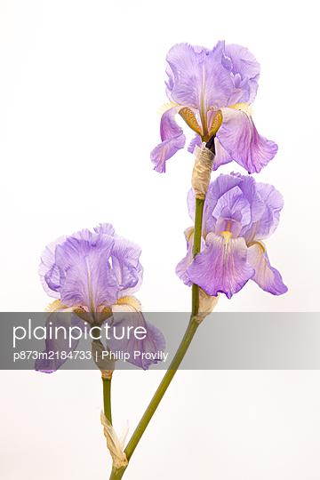 Iris  - p873m2184733 by Philip Provily