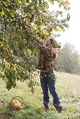 Apple harvest - p454m764422 by Lubitz + Dorner